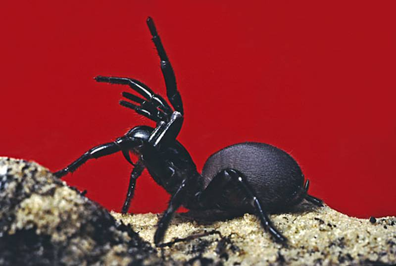 Sydney funnel-web spider, Atrax Robustus   This ...